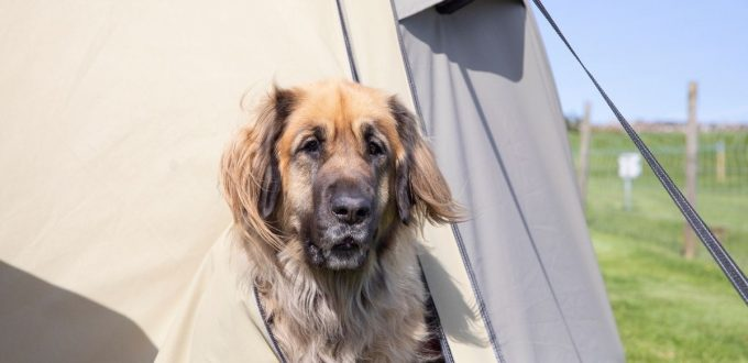 Top Tips for Camping with Dogs